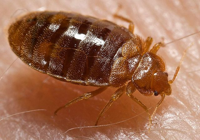 Adult CT Bed bug