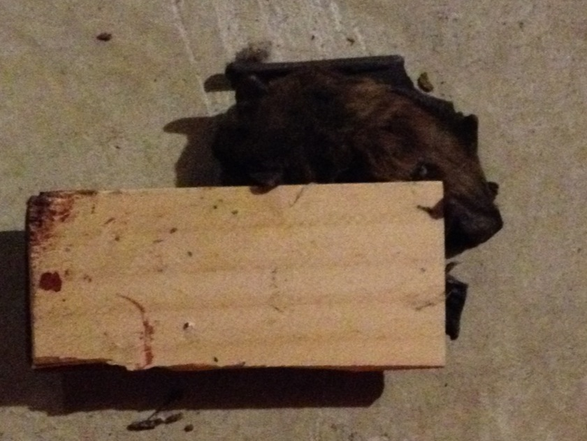 bat caught in mouse trap in the basement