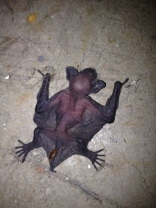 """Bat with a parasite called a """"bat bug"""" firmly attached."""