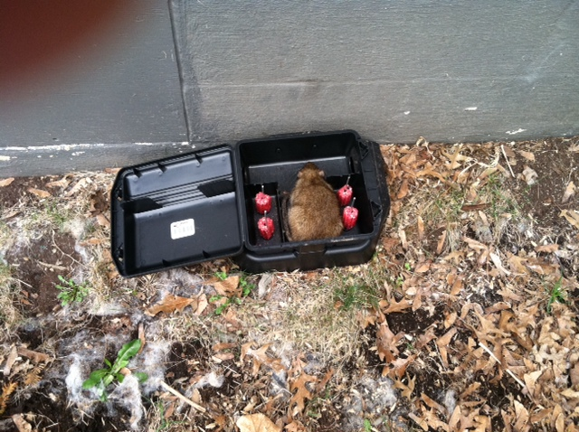 rats in yard a common problem envirocare pest control