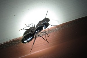 Carpenter Ant by schizoform