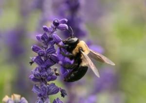 """Carpenter Bee"" by Daniel Schwen"