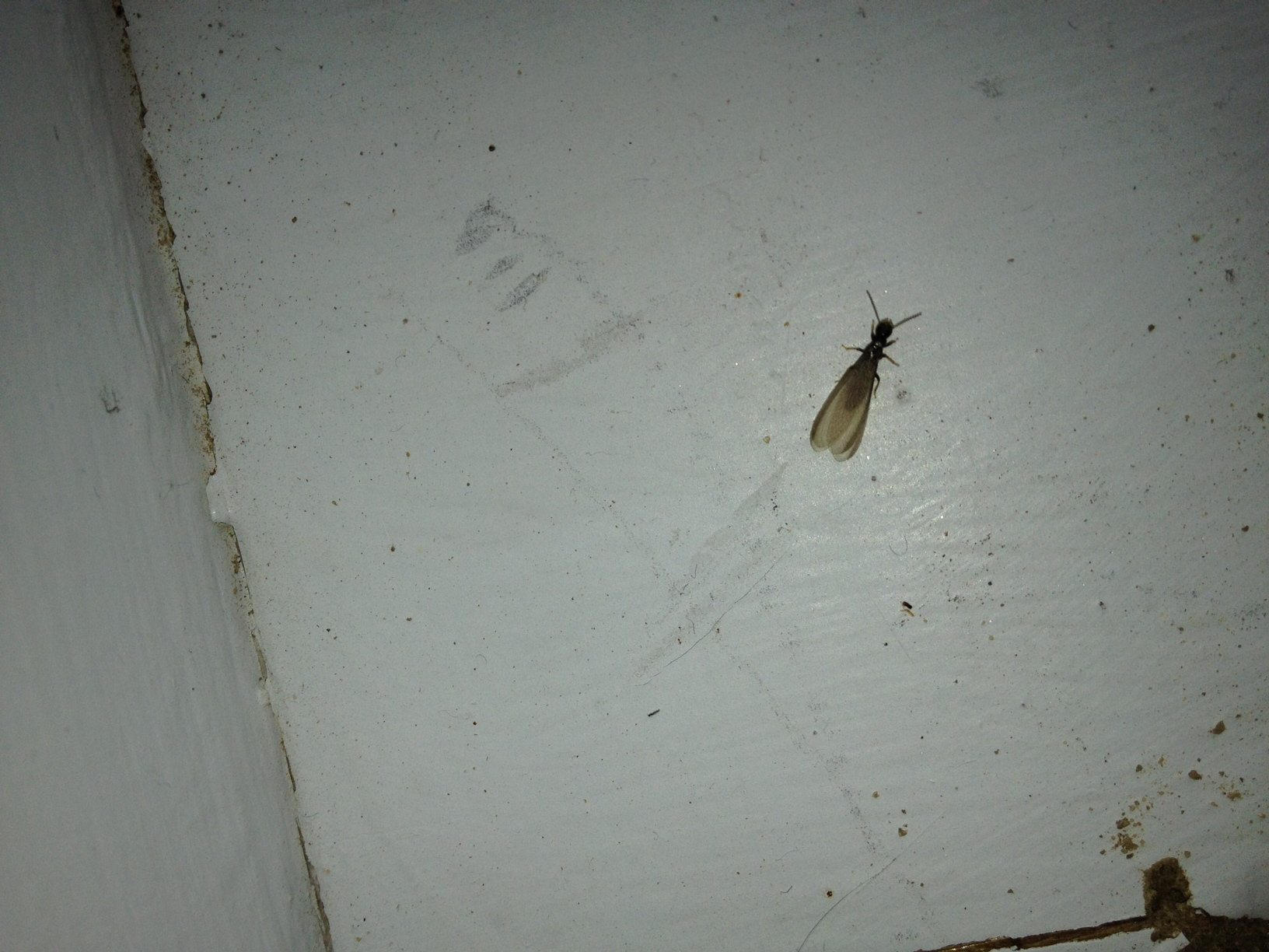 Do Termites Leave Sawdust ~ Termites with wings